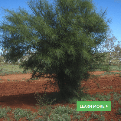 Pilbara Weed Guide - Helping Land Managers Identify Weeds.