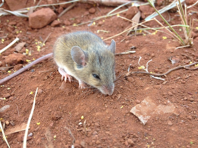 Level Two Fauna Survey in the West Pilbara